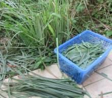Home Grown Lemon Grass Tea