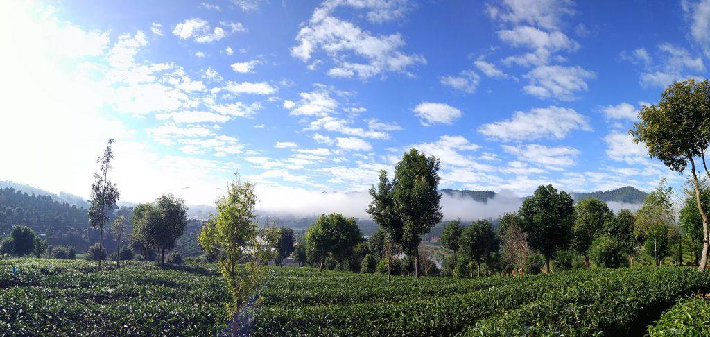 zuxiang tea